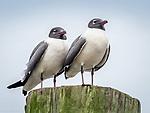 Black-headed gull. Bonaparte's Gull