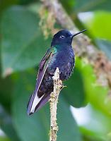 Velvet-purple coronet male