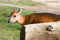 0601-1102  Red-flanked Duiker, Cephalophus rufilatus  © David Kuhn/Dwight Kuhn Photography