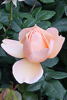 Rose Mother of Pearl (Meiludere) one single soft pink salmon opening, with foliage