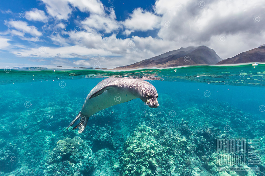 An over-and-under image of a Hawaiian monk seal off of Olowalu, Maui.