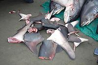thresher shark, Alopias pelagicus, shark fishing or finning, to be used in shark fin soup, Ecuador, Atlantic
