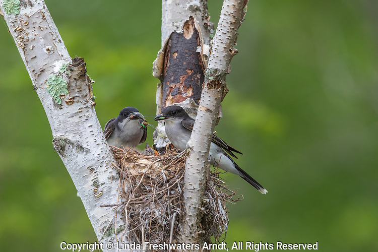 Eastern kingbird parents with food for their chicks.