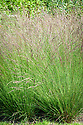 Molinia caerulea subsp. caerulea 'Edith Dudszus', early August. A form of Purple moor grass.