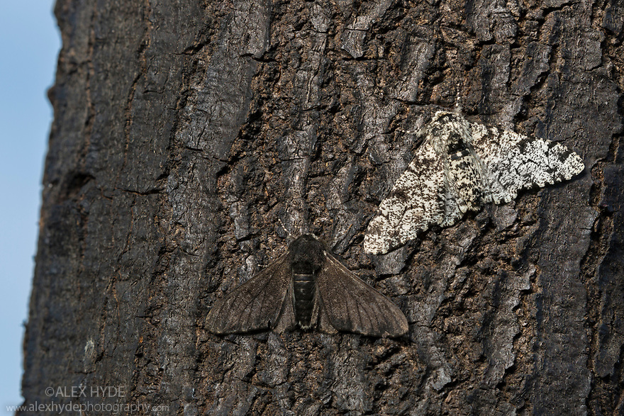 Peppered Moths {Biston betularia}. This species is frequently used as a textbook example of 'industrial melanism'. Here we see the dark melanic form  of the moth {f. carbonaria} is better camouflaged on the soot-covered tree trunk found in an an urban environment. The pale lichen-mimicking form is less well camouflaged in this instance, making it more likely to be predated by birds. Due to improving air quality, the melanic form is becoming rarer. Derbyshire, UK. October.