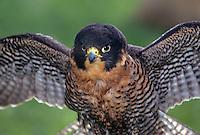 527952589 a captive falconers peregrine falcon falco peregrinus perches while spreading its wings