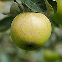 Apple 'Claygate Pearmain', mid September. An English dessert apple discovered in a hedge near Claygate, Surrey. First exhibited at the London Horticultural Society Show in 1921.