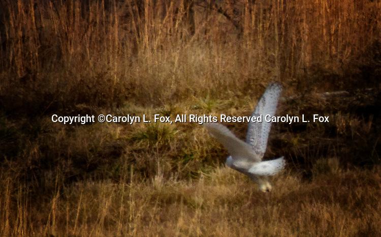 A snowy owl flies over a field in Missouri
