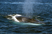 Adult Fin Whale, Balaenoptera physalus, surfacing, note asymmetrical white lower jaw on right side, in the midriff region of the Gulf of California, Sea of Cortez, Sonora, Mexico, Pacific Ocean