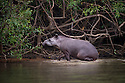 South American or Brazilian Tapir (Tapirus terrestris) emerging from the Piquiri River, northern Pantanal, Brazil.