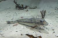 Grauer Knurrhahn, Eutrigla gurnardus, grey gurnard, gray searobin