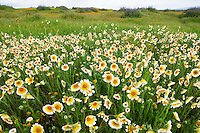 Tidy Tip (Layia platyglossa). Carrizo Plain National Monument, California