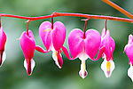 Bleeding Hearts, Dicentra formosa, are naative p lants found throught the mosit lowland forests of the Pacific Northwest.