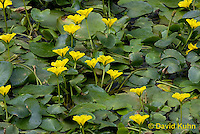 0723-1013  Full Bloom Water Lilies in Ornamental Pond  © David Kuhn/Dwight Kuhn Photography