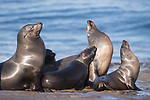 La Jolla, California; several California sea lions basking in early morning sunlight, while resting on the rocky shoreline along the Pacific Ocean