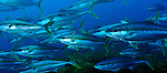 A school of Kingfish (Seriola laland) at Astrolabe Reef prior to the MV Rena wrecking there in 2011