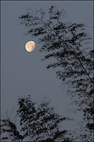 Silhouetted bamboo trees with an early morning moon. China.