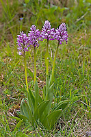 Helm-Knabenkraut, Helmknabenkraut, Orchis militaris, military orchid, L'Orchis guerrier