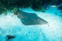 Shovelnose guitar fish ( ray ), San Benito Islands, Rhinobatos productus, Mexico, East Pacific Ocean