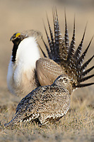 Female Greater Sage-Grouse (Centrocercus urophasianus) visiting a lek of displaying males. Sublette County, Wyoming. April.