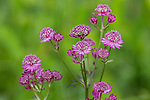 Star of Beauty - Astrantia