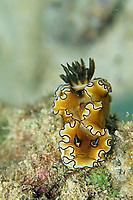 nudibranch, Glossodoris atromarginata, Amami-ohsima island, Kagoshima, Japan, Pacific Ocean