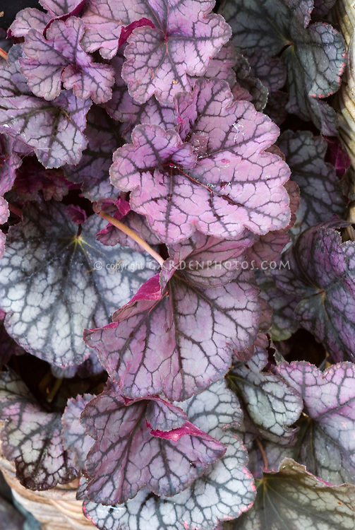 Heuchera 'Guardian Angel', purple pink veined leaf foliage plant, silver