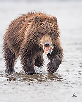 Chubby little Brown Bear spring cub seems happy to enjoy the remnants of a big salmon her mother caught.  Mom, the cub's sibling and the gulls got the rest.