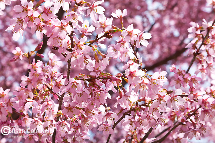 Japanese Cherry Trees bloom in spring at the Arnold Arboretum, part of Boston's Emerald Necklace in the Jamaica Plain neighborhood of Boston, MA, USA