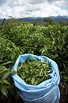 Freshly picked tea near the town of Chimate in the Yungas region of Bolivia.