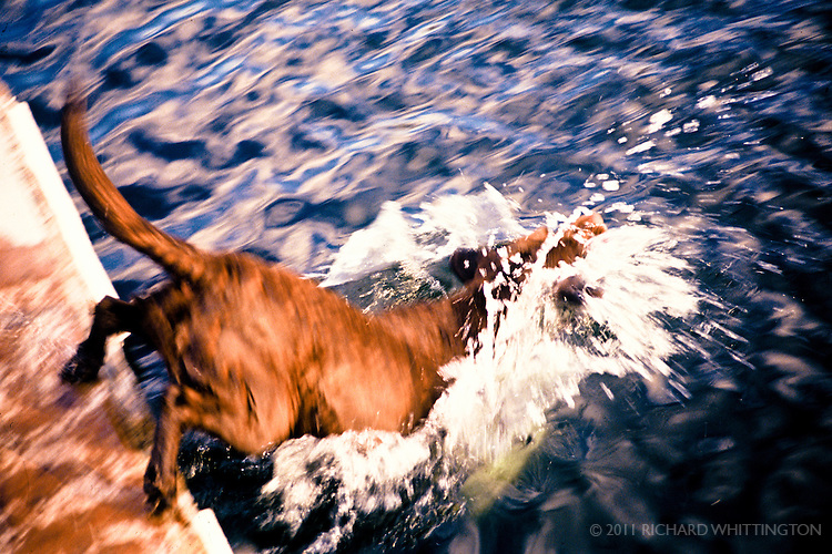 A brown lab happily dives into a cool lake.