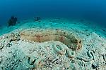 Sea cucumber {Thelonota anax}
