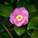 Autumn flowering Camellia sasanqua 'Cleopatra', early November.