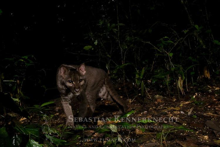 African Golden Cat (Caracal aurata aurata) grey morph male in rainforest, Kibale National Park, western Uganda
