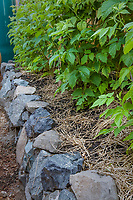 raspberries growing in straw mulched organic garden raised bed edged with stone, filled with fresh compost