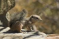 Yuma antelope squirrel, Ammospermophilus harrisi. Arizona-Sonora Desert Museum, Tucson, Arizona