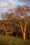 Oak tree trunks, winter, late afternoon above the fog.