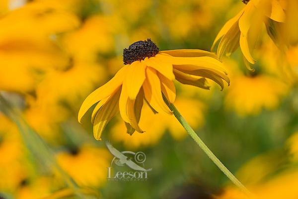 Black-eyed Susan (Rudbeckia hirta)