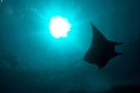 reef manta ray, Manta alfredi, Manta alley, Komodo island, Flores sea, Indian Ocean, Indonesia, Asia