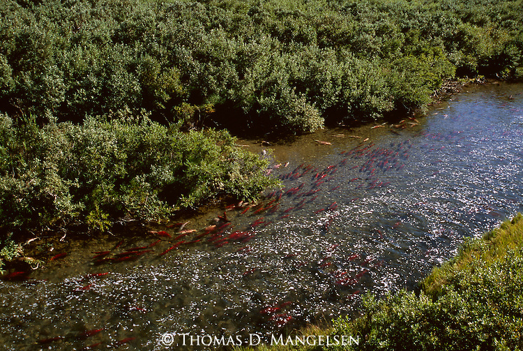 Sockeye salmon swimming in Funnel Creek on the Alaska Peninsula. The extremely shallow and unseasonably warm waters during the summer drought of 2003 inhibit many of the salmon from completing their long journey.