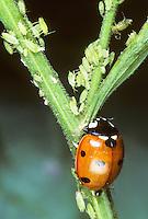 Käfer in einer Blattlaus-Kolonie