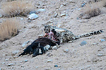 Wild female snow leopard (Panthera uncia)(sometimes Uncia uncia) feeding on its kill - a domestic yak calf (Bos grunniens). Ladakh Range, Western Himalayas, Ladakh, India.