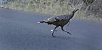 A wild turkey crosses the road that goes up to Mount Tamalpais near Stinson Beach, California.