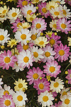 Daisy, Argyranthemum frutescens 'Spring Boquet'