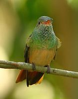 Buff-bellied hummingbird female