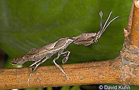 "0407-07qq  Ghost Mantis - Phyllocrania paradoxa ""Adult Male"" - © David Kuhn/Dwight Kuhn Photography"