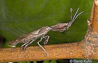 "0407-07qq  Ghost Mantis - Phyllocrania paradoxa ""Adult Male"" - © David Kuhn/Dwight Kuhn Photography"