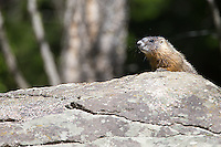 An active marmot den was a popular attraction during my spring trip.