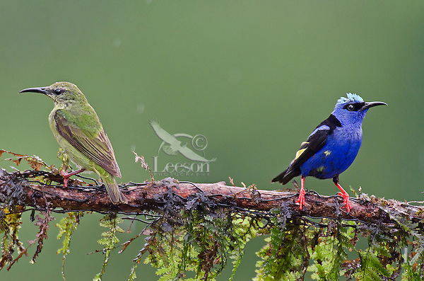 Pair of Red-legged Honeycreepers (Cyanerpes cyaneus).  Found from Mexico to Brazil.  Photographed in Costa Rica.