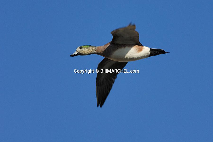 00318-006.08 American Wigeon Duck (DIGITAL) drake in flight against a blue sky.  Waterfowl, hunt, wetlands, action.  H3L1